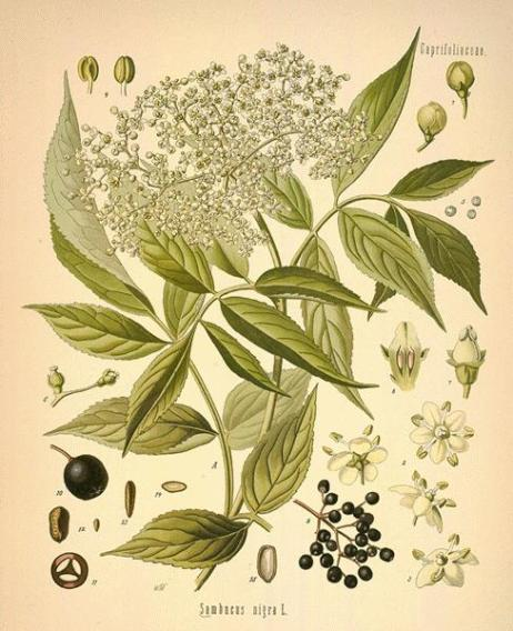 Images from A Modern Herbal by M. Grieve
