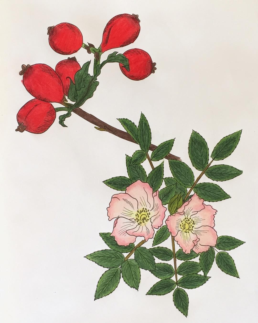 Wild Rose: Herbal Mini-Monograph