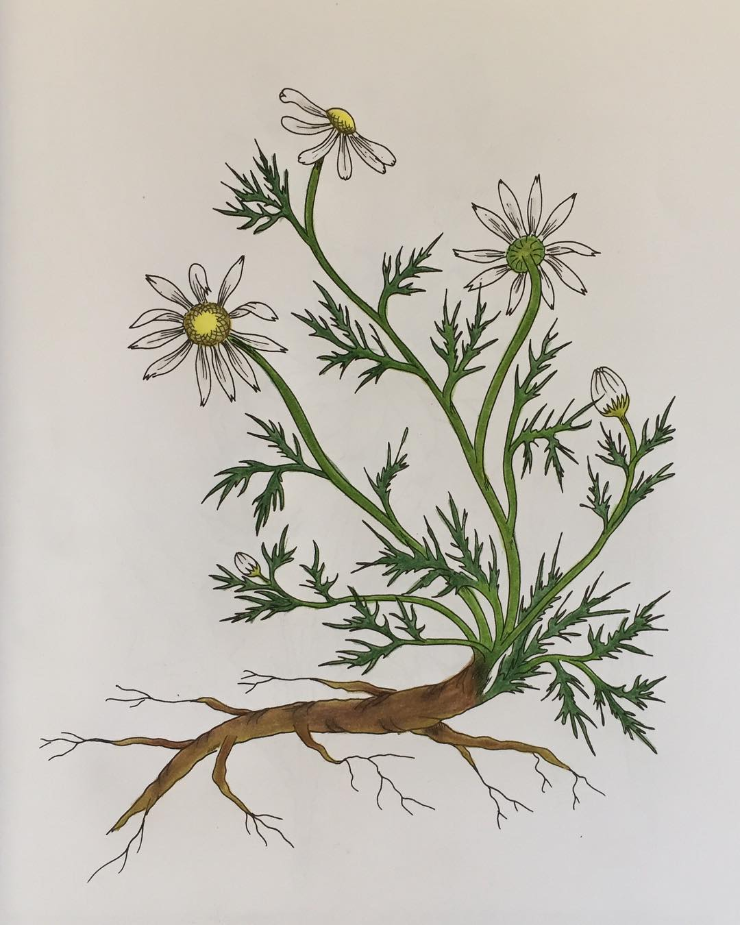 Chamomile: Herbal Mini-Monograph
