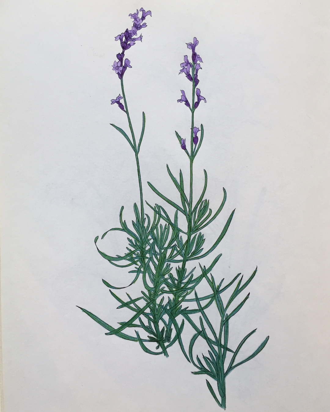 Lavender: Herbal Mini-Monograph