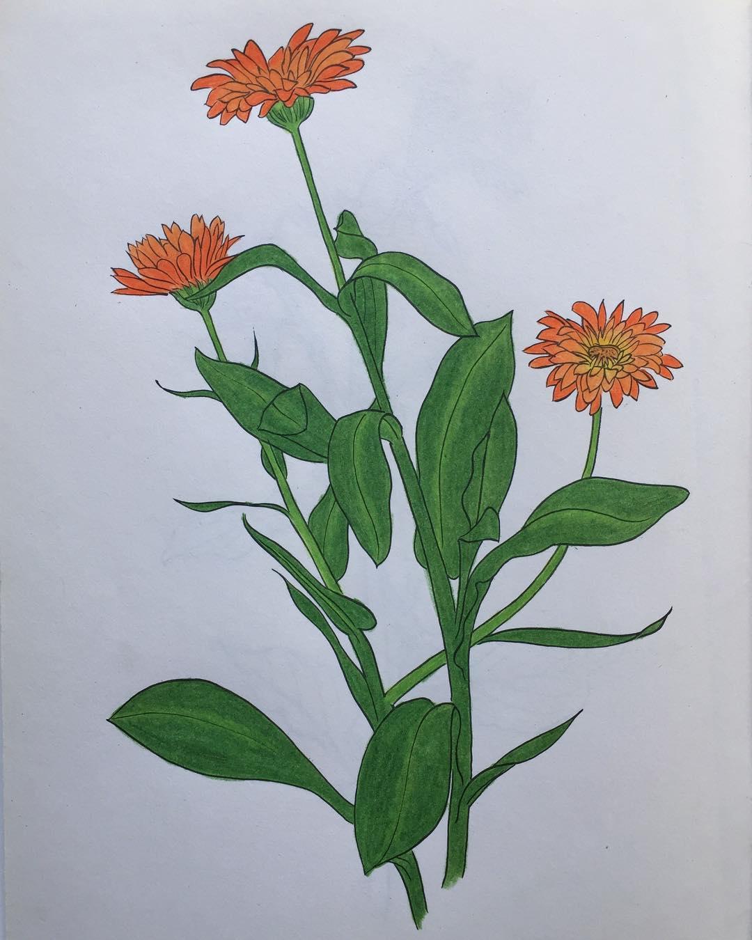 Calendula: Herbal Mini-Monograph