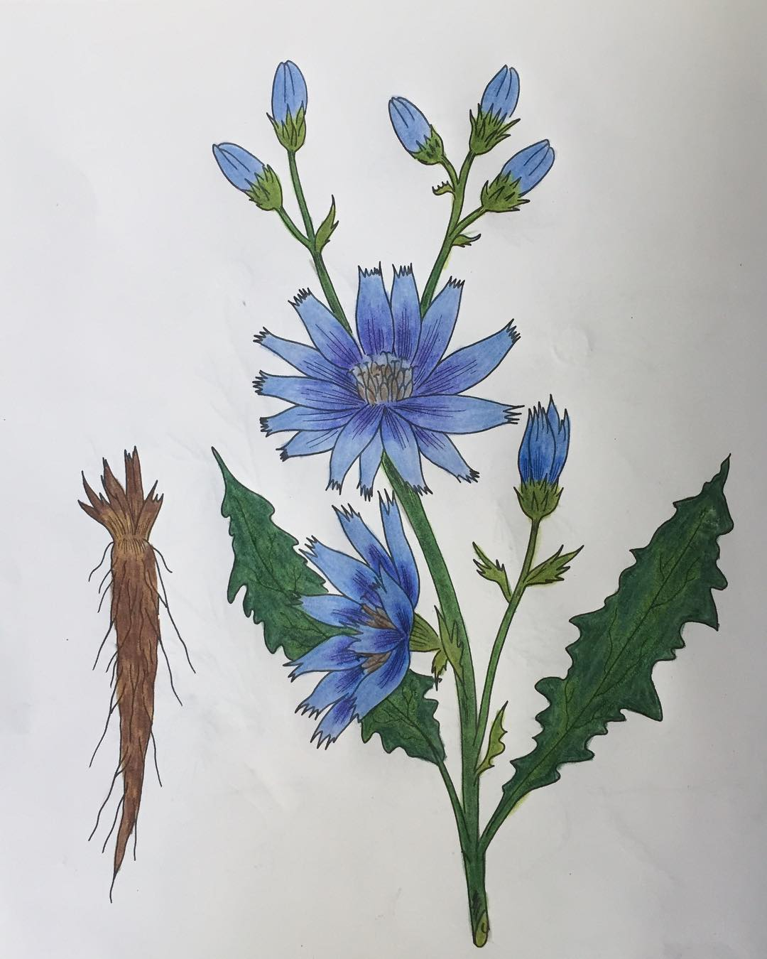 Chicory: Herbal Mini-Monograph
