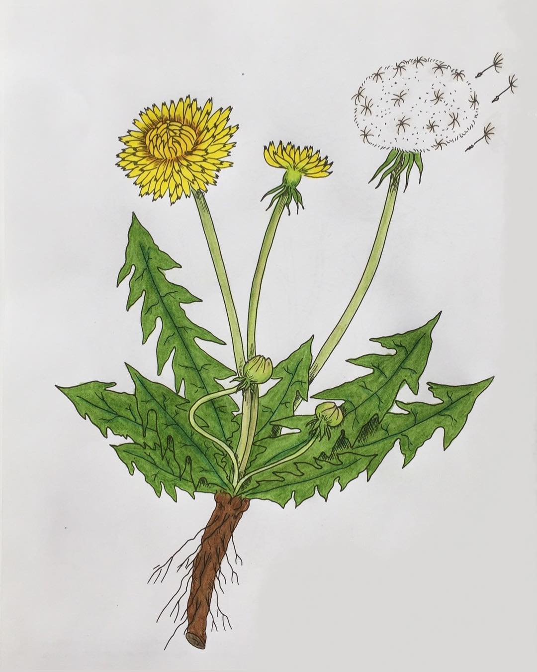 Dandelion: Herbal Mini-Monograph